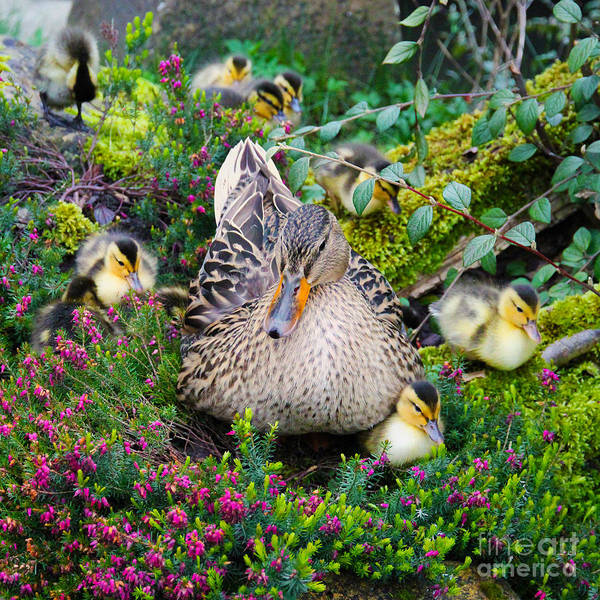 Duckling Photograph - Sitting Pretty by Jasna Buncic