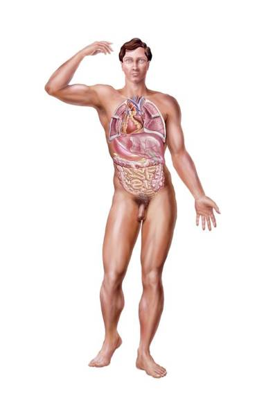 Anatomical Position Wall Art - Photograph - Situs Inversus by Bo Veisland/science Photo Library