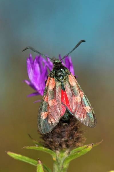 Wall Art - Photograph - Six-spot Burnet Moth On Common Knapweed by Dr. John Brackenbury/science Photo Library