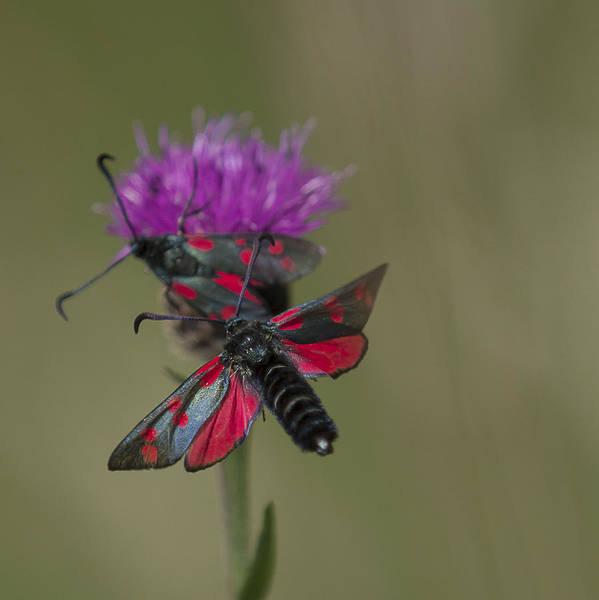Wall Art - Photograph - Six Spotted Burnet Moth by Nigel Jones