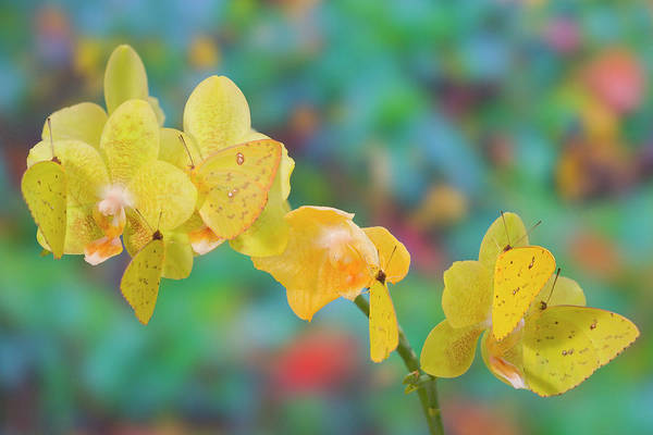 Sulfur Butterfly Wall Art - Photograph - Six Yellow Sulfur Butterfly Hanging by Darrell Gulin
