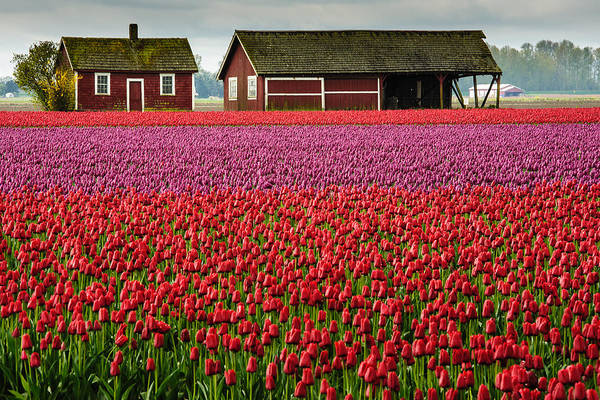 Vernon County Photograph - Skagit Valley Crops by Dan Mihai