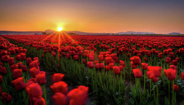Vernon County Photograph - Skagit Valley Tulip Fields by Alexis Birkill