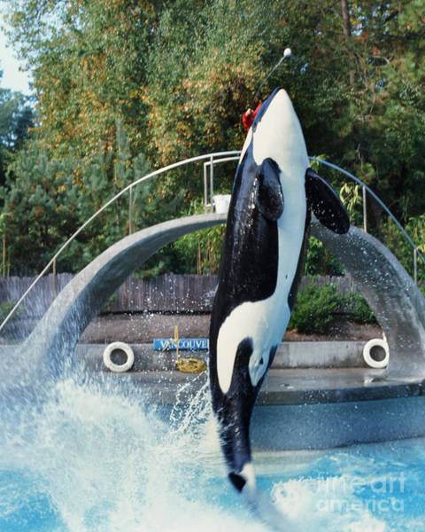 Photograph - Skana Orca Vancouver Aquarium 1974 by California Views Archives Mr Pat Hathaway Archives