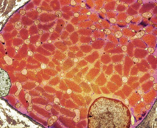 Skeletal Muscle Photograph - Skeletal Muscle Cell by Medimage/science Photo Library