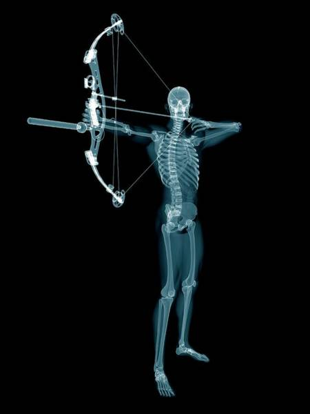 Archery Photograph - Skeletal Structure Of An Archer by Sebastian Kaulitzki/science Photo Library