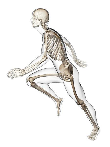 Musculoskeletal System Wall Art - Photograph - Skeletal System Of Runner by Sebastian Kaulitzki