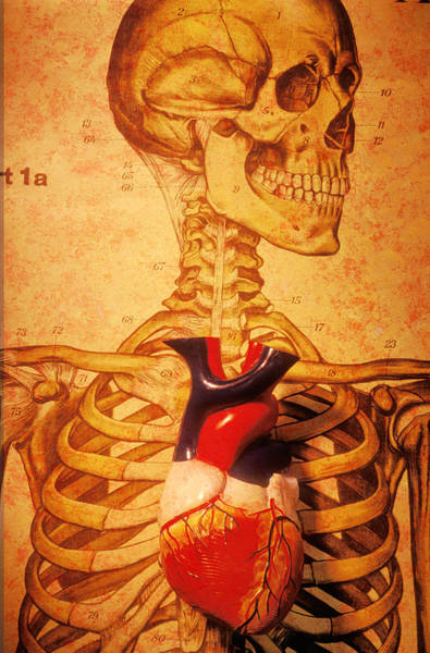 Anatomical Model Wall Art - Photograph - Skeleton And Heart Model by Garry Gay