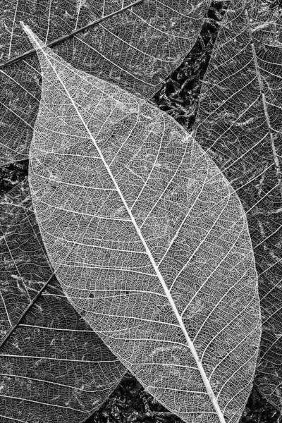 Photograph - Skeleton Leaves by Denise Bush