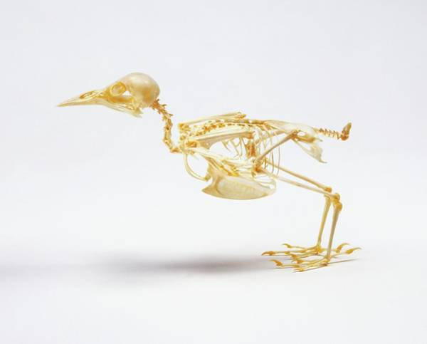 Passeriformes Photograph - Skeleton Of A Starling by Dorling Kindersley/uig