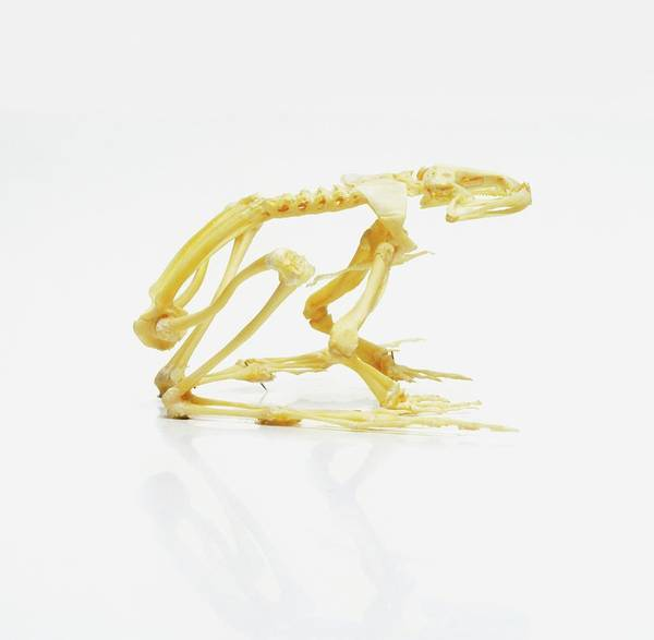 Bullfrog Photograph - Skeleton Of African Bullfrog by Dorling Kindersley/uig