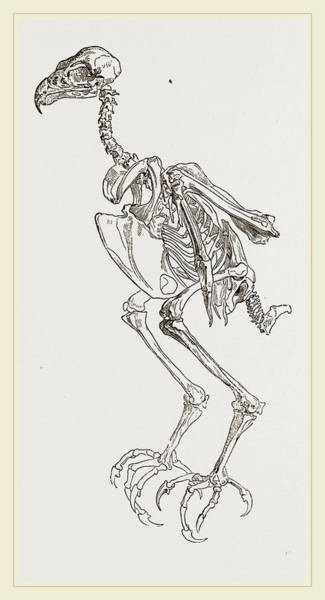 Hawk Drawing - Skeleton Of Hawk by Litz Collection