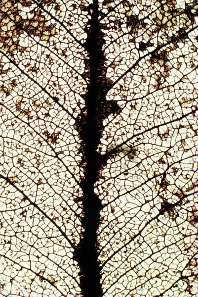 Eucalyptus Photograph - Skeletonised Eucalyptus Leaf by Dr Jeremy Burgess/science Photo Library
