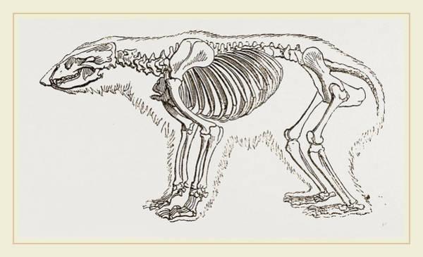 Polar Bear Drawing - Skeletun Of Polar Bear by Litz Collection