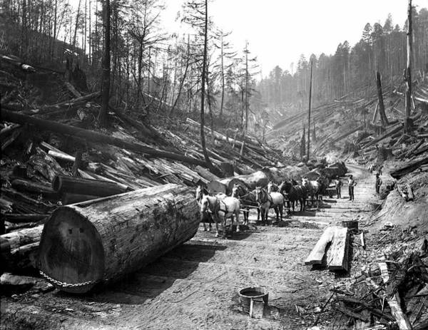 Forestry Photograph - Skidding Redwood Logs C. 1890 by Daniel Hagerman