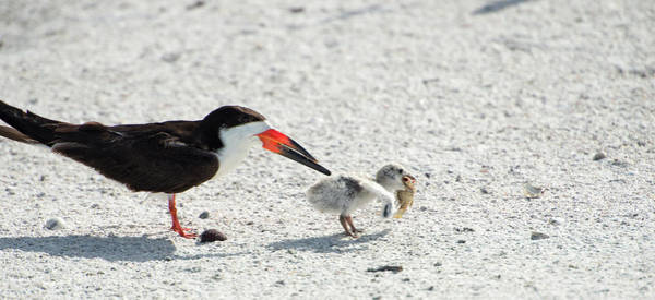 Skimmers Photograph - Skimmer Chick Carrying Fish by Sheila Haddad