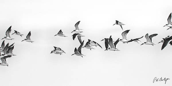 Bird Watching Digital Art - Skimmer Traffic Jam by Phill Doherty