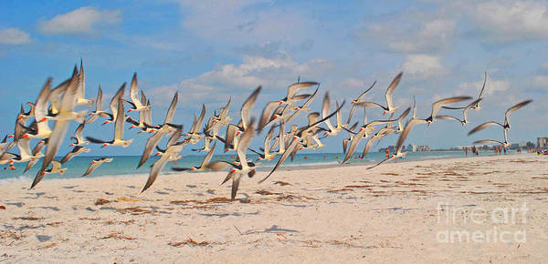 Photograph - Skimmers On The Move by George D Gordon III