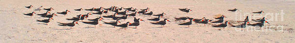 Photograph - Skimmers Resting by George D Gordon III