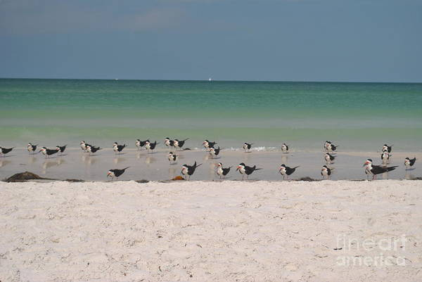 Photograph - Skimmers Wading by George D Gordon III