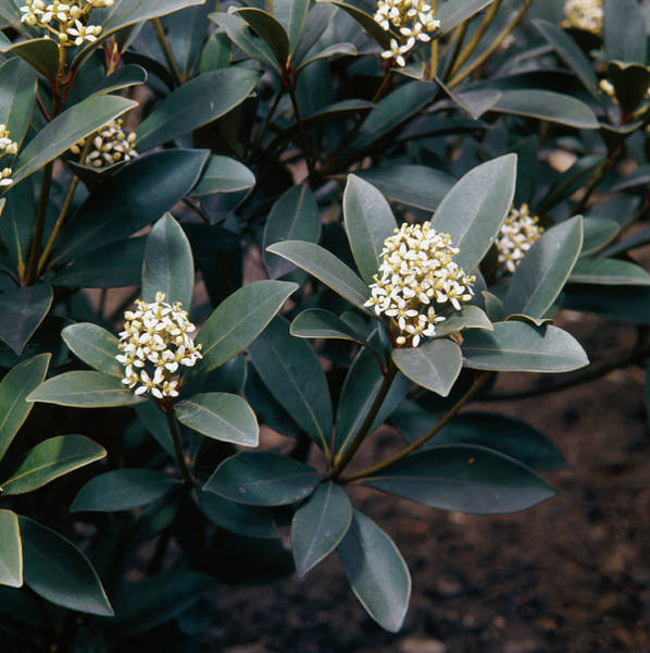 Japonica Photograph - Skimmia Japonica Nymans by Science Photo Library