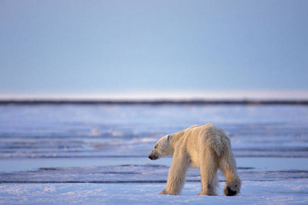 Wall Art - Photograph - Skinny Hungry Polar Bear Walking by Steven J. Kazlowski / GHG