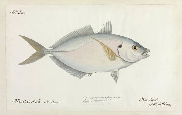 Skipjack Wall Art - Photograph - Skipjack Of The Settlers by Natural History Museum, London/science Photo Library