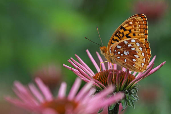 Photograph - Skipper On Coneflower by Juergen Roth