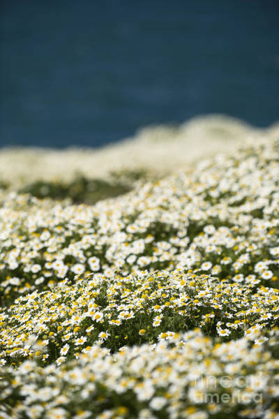 Wall Art - Photograph - Skokholm Sea Mayweed by Anne Gilbert