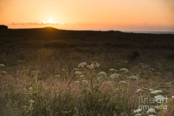Wall Art - Photograph - Skokhom Hogweed Sunset  by Anne Gilbert