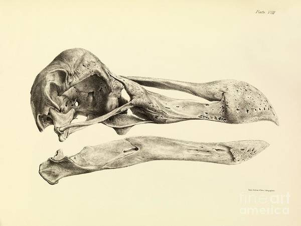 Melville Photograph - Skull Of A Dodo, 1848 Artwork by Royal Institution Of Great Britain