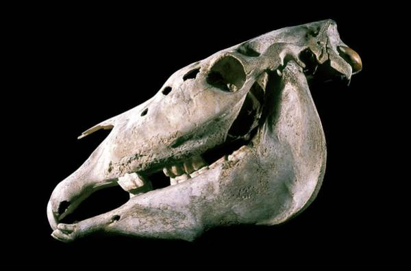 Maison Photograph - Skull Of A Horse With Myelofibrosis by Patrick Landmann/science Photo Library