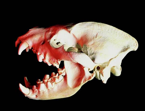 Hyena Photograph - Skull Of A Hyena by Sinclair Stammers/science Photo Library