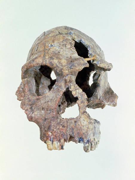 Wall Art - Photograph - Skull Of Homo Habilis Knm-er 1813 by John Reader/science Photo Library