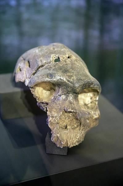 Homo Sapiens Photograph - Skull Of Homo Rhodesiensis (rhodesia Man) by Peter J. Raymond