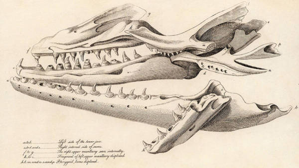 Founded Photograph - Skull Of Mososaurus by Universal History Archive/uig
