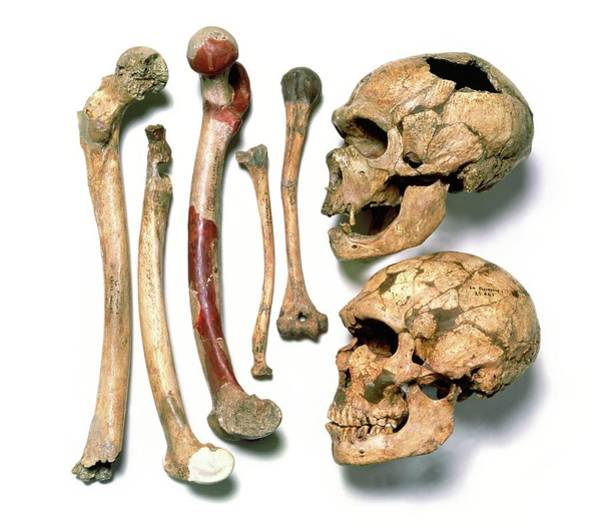Chapelle Photograph - Skulls & Bones Of Neanderthal Man by John Reader/science Photo Library