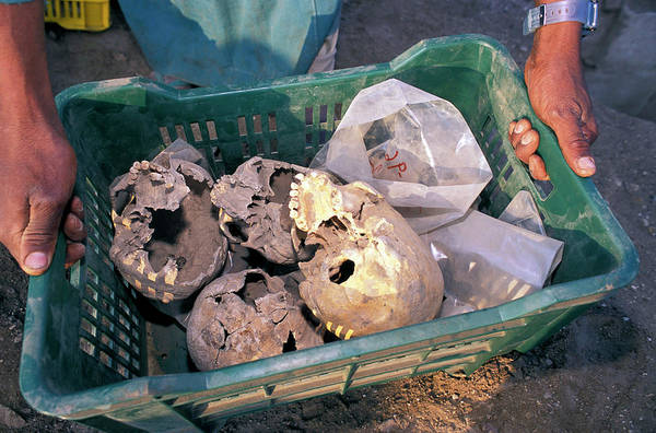 Skulls Excavated From Al-fustat Art Print by Pascal Goetgheluck/science Photo Library