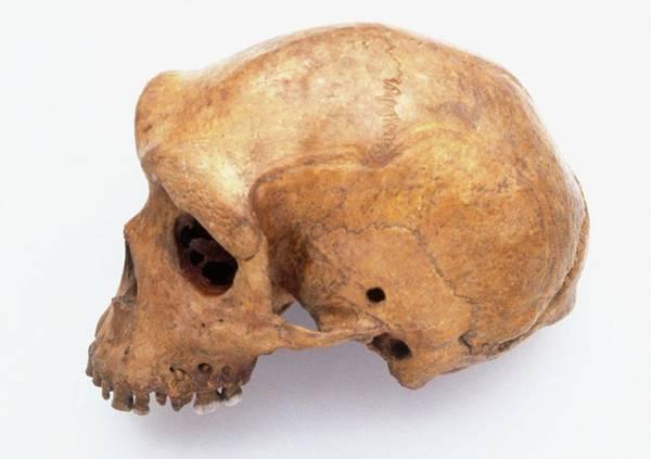 Homo Sapiens Photograph - Skulls Of Neanderthal by Dorling Kindersley/uig