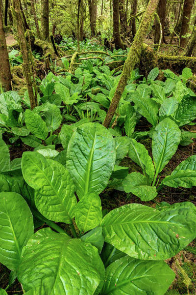 Skunk Photograph - Skunk Cabbage In Rainforest, Pacific by Panoramic Images