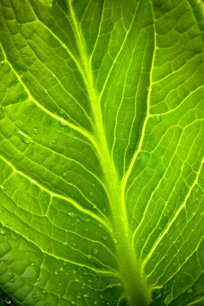 Photograph - Skunk Cabbage Leaf With Water Drops by Jeff Sinon