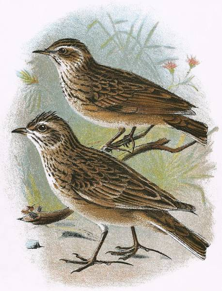 Ornithology Photograph - Sky-lark Bottom And Wood-lark Top by English School