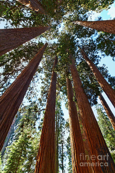 Sequoia Grove Photograph - Skyscrapers - A Grove Of Giant Sequoia Trees In Sequoia National Park In California by Jamie Pham