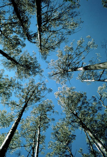 Eucalyptus Photograph - Skyward View Of Eucalyptus Regnans Trees by Dr Jeremy Burgess/science Photo Library