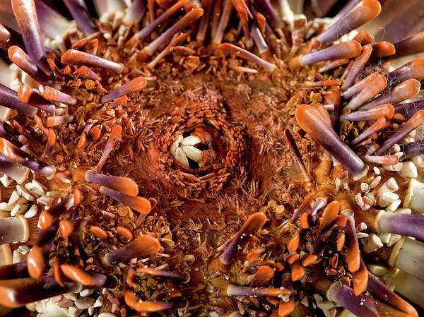Zoological Photograph - Slate Pencil Urchin by Natural History Museum, London