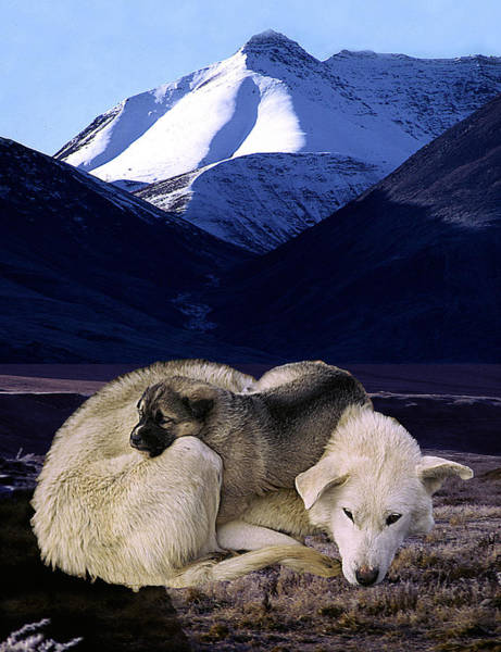 Wall Art - Photograph - Sled Dog And  Pup by Fred Leavitt