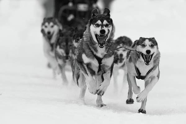 Run Wall Art - Photograph - Sleddog Fun by Karen Kolbeck