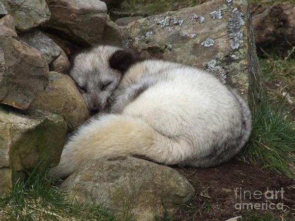 Photograph - Sleeping Arctic Fox by Phil Banks