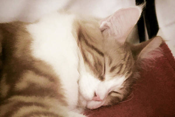 Digital Art - Sleeping Cat by Photographic Art by Russel Ray Photos