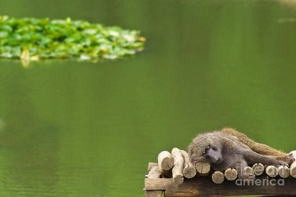 Photograph - Sleeping Baboon by Angela Doelling AD DESIGN Photo and PhotoArt